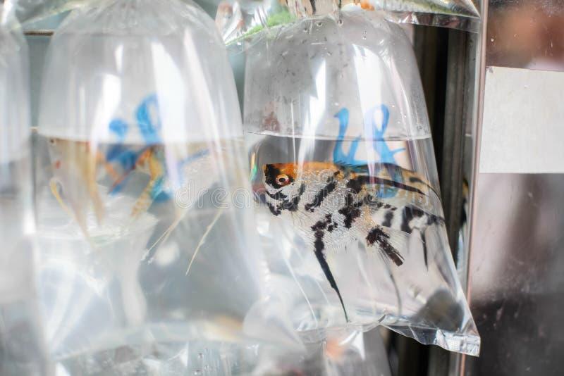 Guldfiskar och olika fiskar för akvarium i plastpåsar hängde på väggen i ett älsklings- shoppar att sälja i Hong Kong arkivfoton