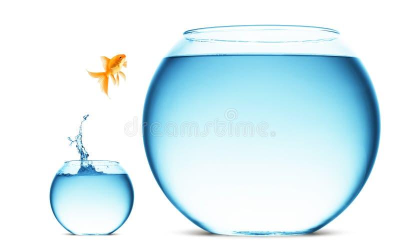 guldfiskbanhoppningen ut water royaltyfri foto