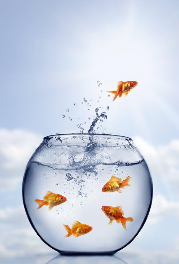 guldfiskbanhoppningen ut water royaltyfria foton