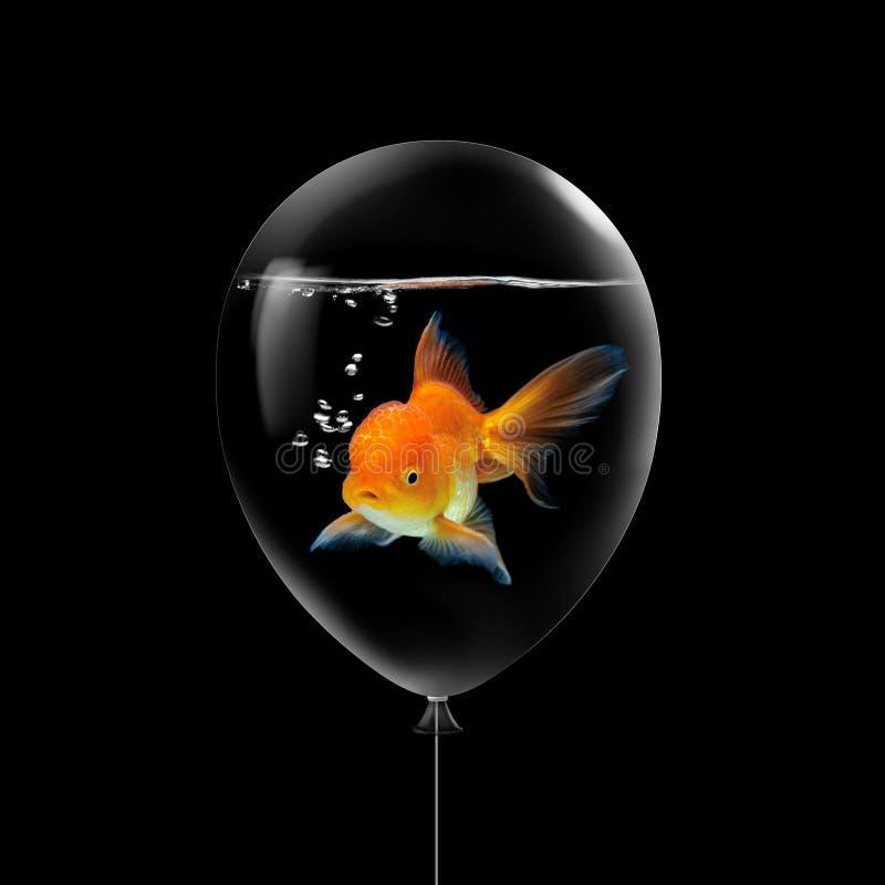 Guldfisksimning i vattenillustrationbegrepp inom ballongen på svart bakgrund Flyga idé för ballongkopieringsutrymme med guld arkivfoton