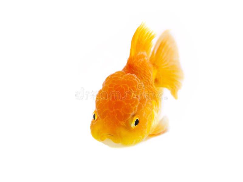 Guldfisksimning på vit bakgrund, guld- fisk, dekorativ akvariefisk, guld- fisk Isolering p? viten royaltyfria foton