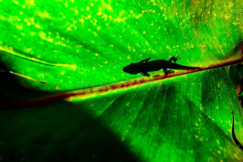 Guldstoftdaggecko på en tjänstledighet arkivfoto