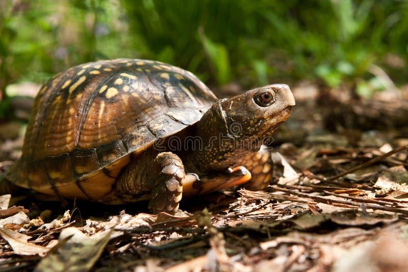Gulf Coast Box Turtle royalty free stock photo