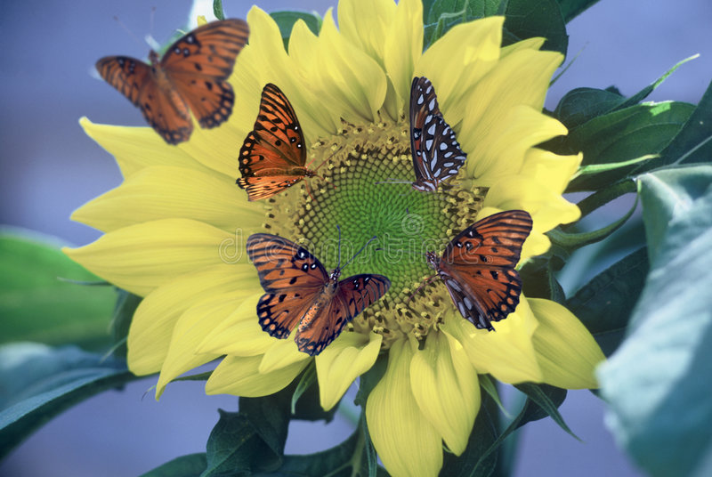 Download Gulf Fritillaries On Sunflower Stock Photo - Image: 31402