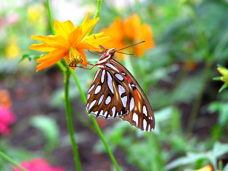 Download Gulf Fritillary stock photo. Image of spots, woodland, macro - 162124
