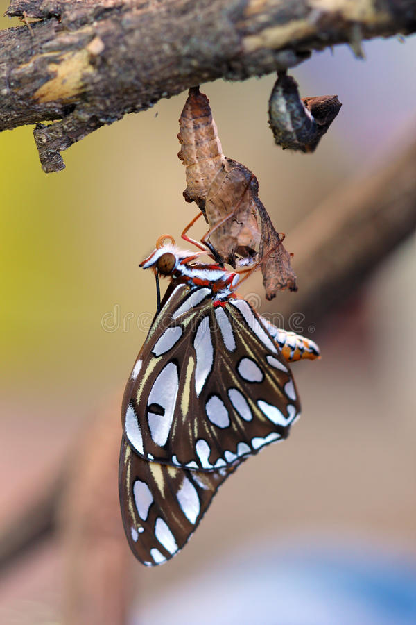 Download Gulf Fritillary Butterfly stock photo. Image of born - 25436876