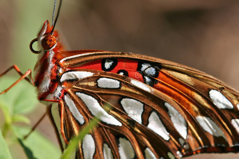 Download Gulf Fritillary Butterfly Royalty Free Stock Image - Image: 697276