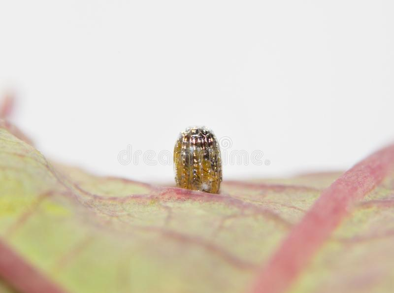 Gulf Fritillary butterfly egg just minutes before hatcheing royalty free stock photography