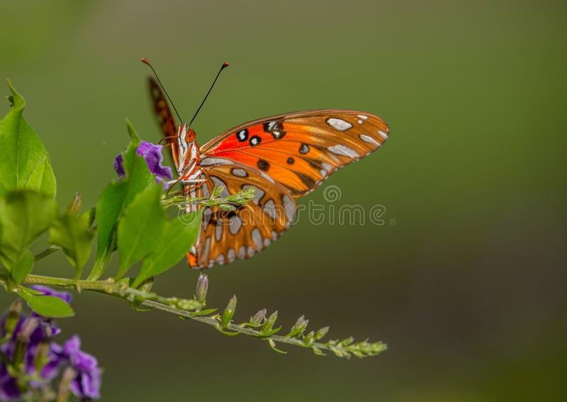 Gulf Fritillary Butterfly Eye, Sipping From Golden Dewdrop Flower, Seminole, Florida royalty free stock photo