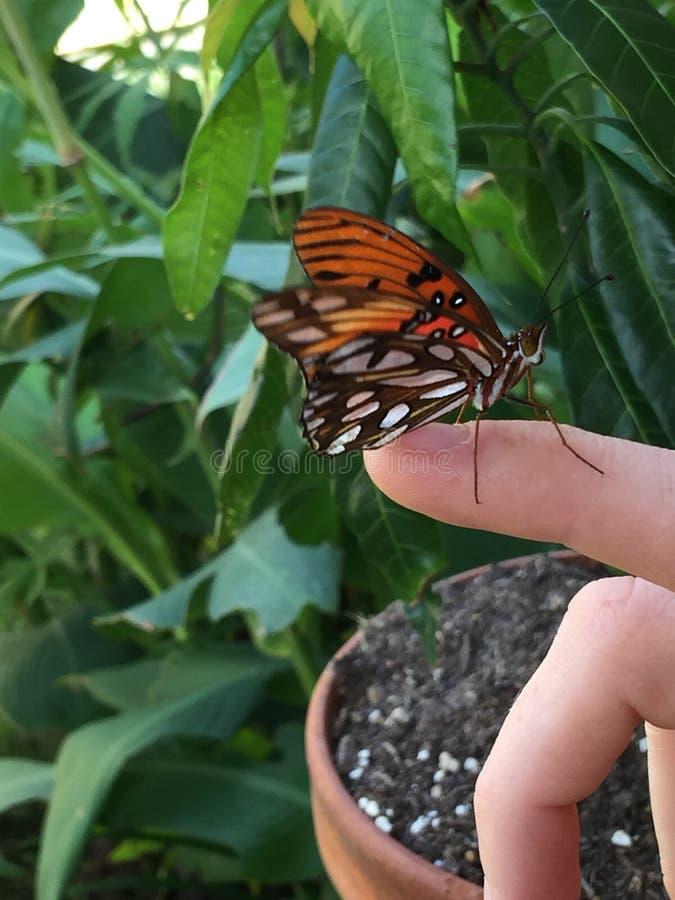 Gulf Fritillary Butterfly royalty free stock image