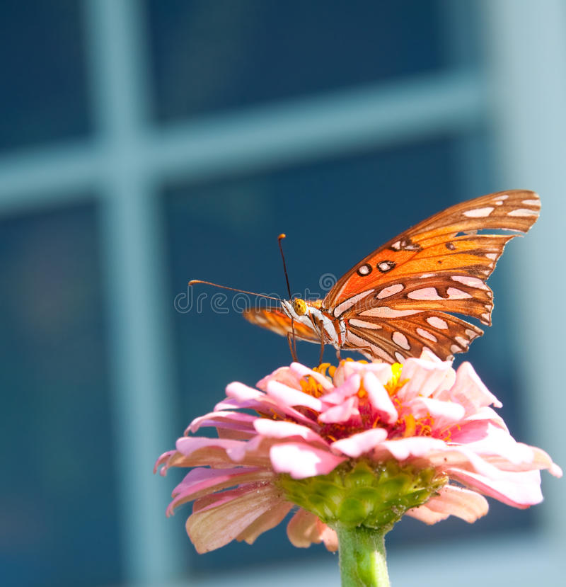 Free Gulf Fritillary Butterfly On A Pink Zinnia Stock Images - 15477554