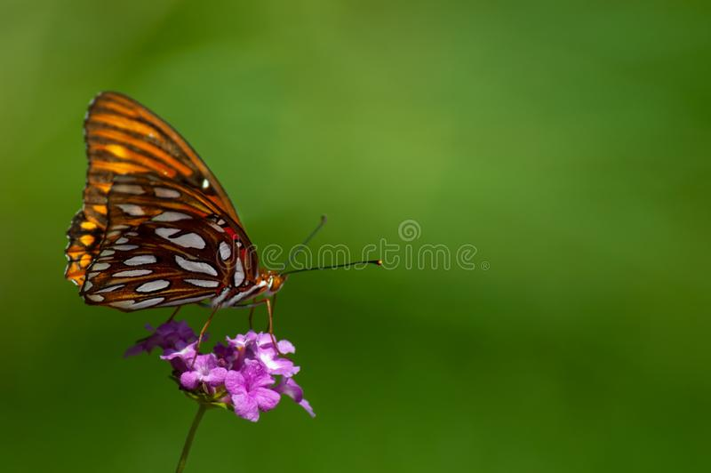 A gulf fritillary butterfly on a pink flower. An orange, white and black gulf fritillary Agraulis vanillae butterfly perched on a pink lantana bloom with a soft royalty free stock photography