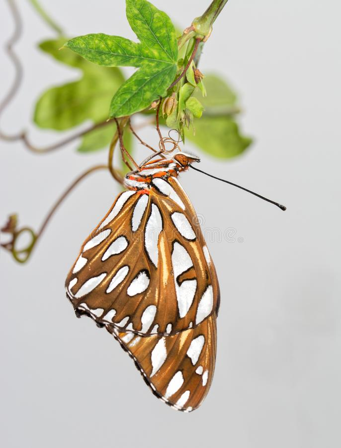 Gulf Fritillary butterfly shortly after emerging from chrysalis. Hanging onto Passionvine leaves, letting his wings straighten out and dry royalty free stock photos