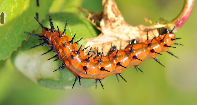 Gulf Fritillary Caterpillar stock images