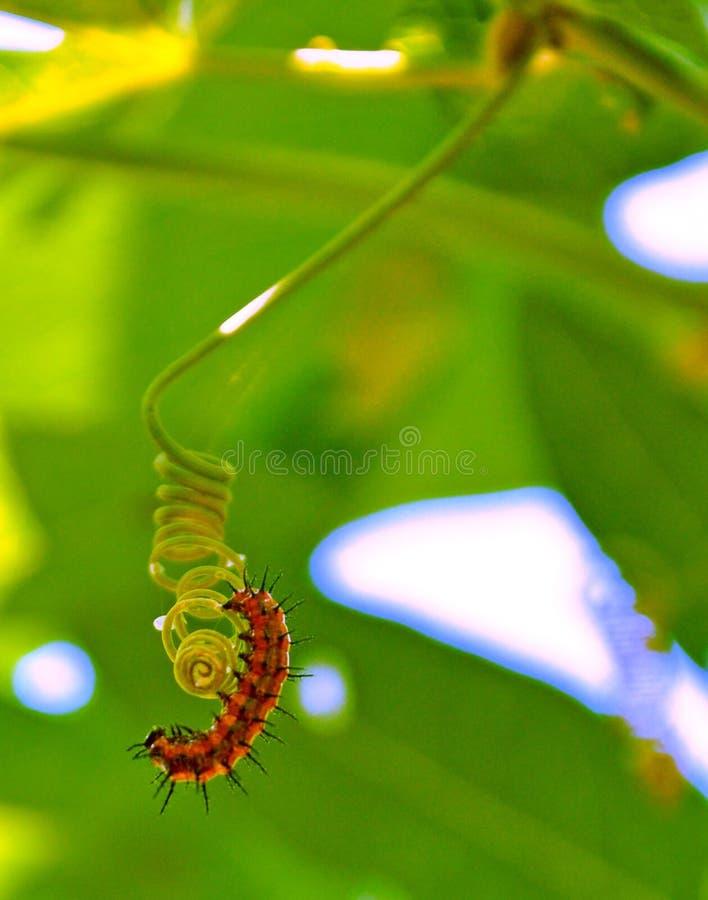 Gulf Fritillary caterpillar starting it's cocoon royalty free stock image