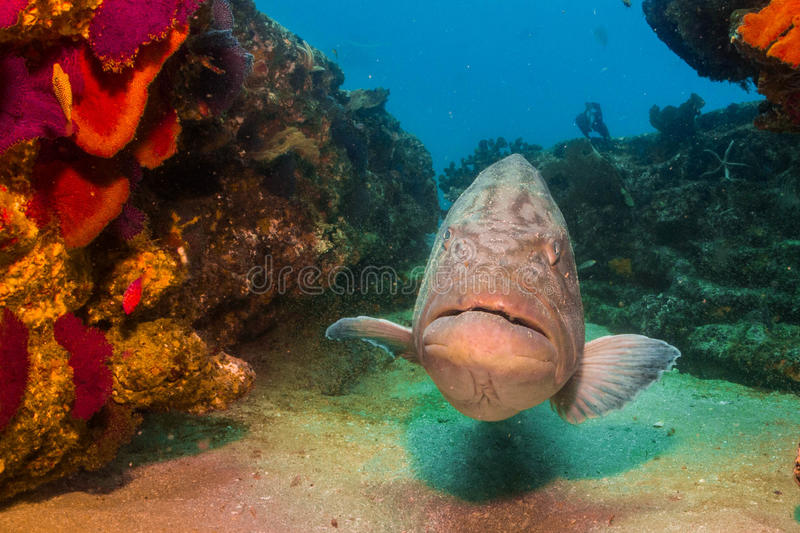 Gulf grouper (Mycteroperca jordani). In the reefs of Cabo Pulmo national park, world heritage site. Baja California Sur, Mexico stock image