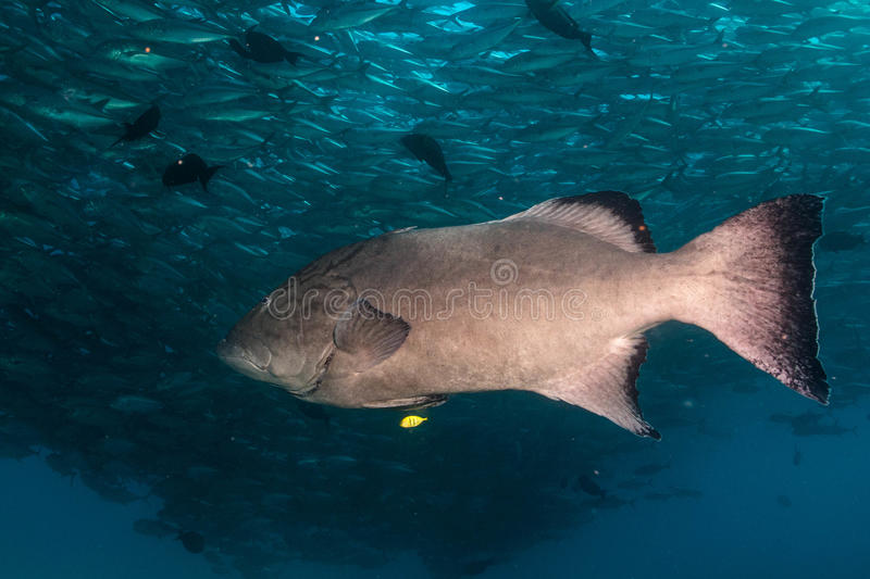 Gulf grouper (Mycteroperca jordani). In the reefs of Cabo Pulmo national park, world heritage site. Baja California Sur, Mexico stock photo