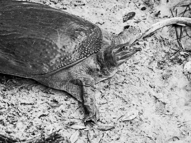 Florida Softshell Turtle B&W. Gulf Shores, AL USA - 05/08/2019  -  Florida Softshell Turtle in B&W stock photography
