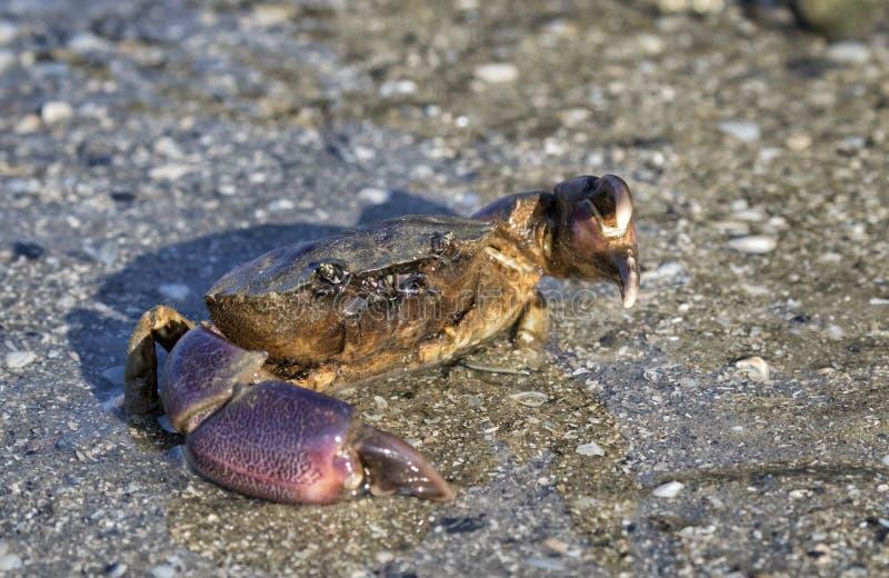 Gulf Stone Crab Menippe adina stock photo