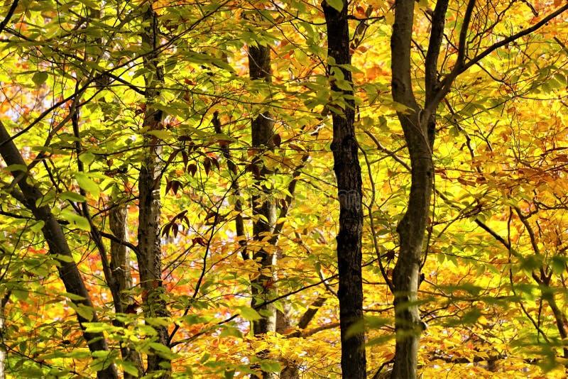 Gulgrön undersida av trädsapor i början av hösten arkivbilder
