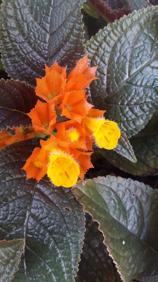Guling är en härlig blomma i Sri Lanka känd kahadiameter royaltyfri bild