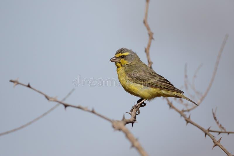 Guling-beklädd kanariefågel, Serinusmozambicus royaltyfria bilder