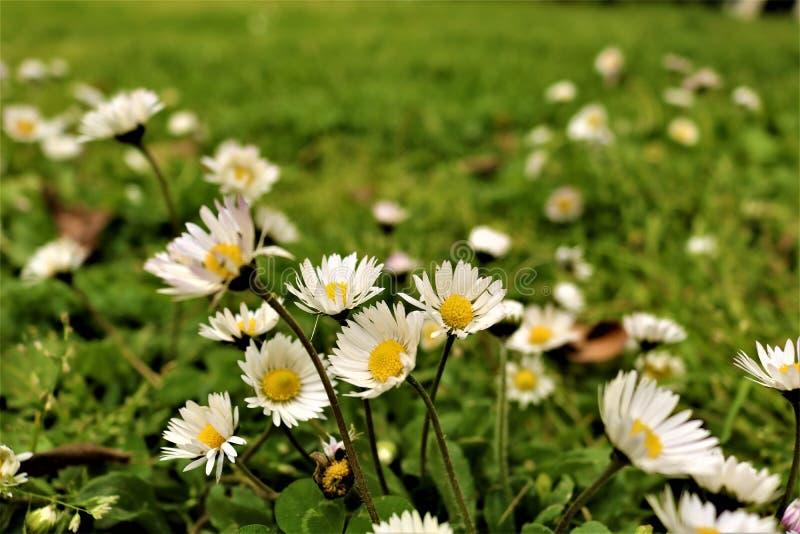 Guling blommar bakgrundskamomill arkivfoton