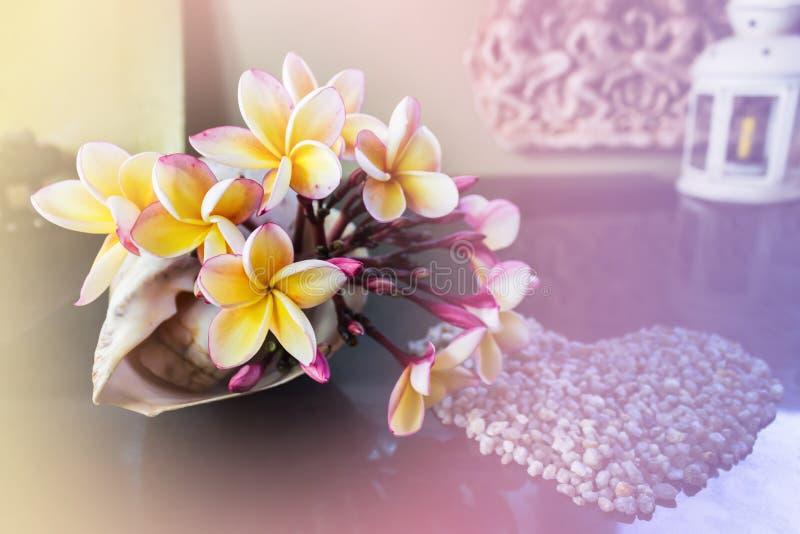 Guling blommar den härliga frangipanien som dekoreras i havstrumpetsnäckaskal royaltyfria bilder