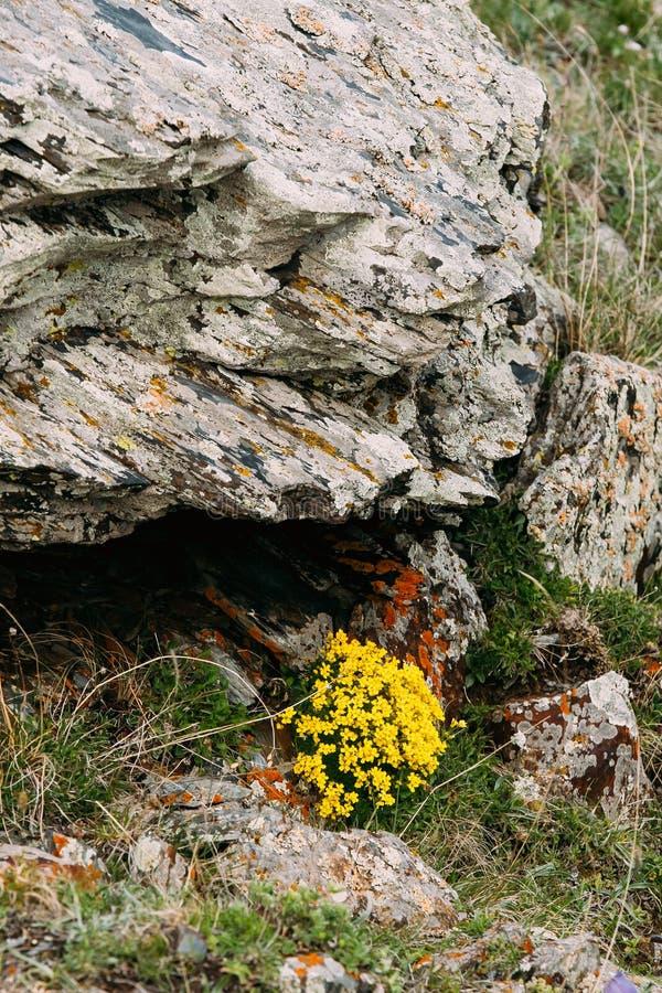 Guling blommar den Palustris för den Marsh Marigold Or Giant Marsh ringblommacalthaen subspen arkivfoton
