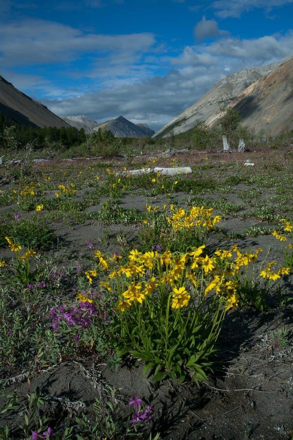 Guling blommar i dalen av en bergflod royaltyfri fotografi