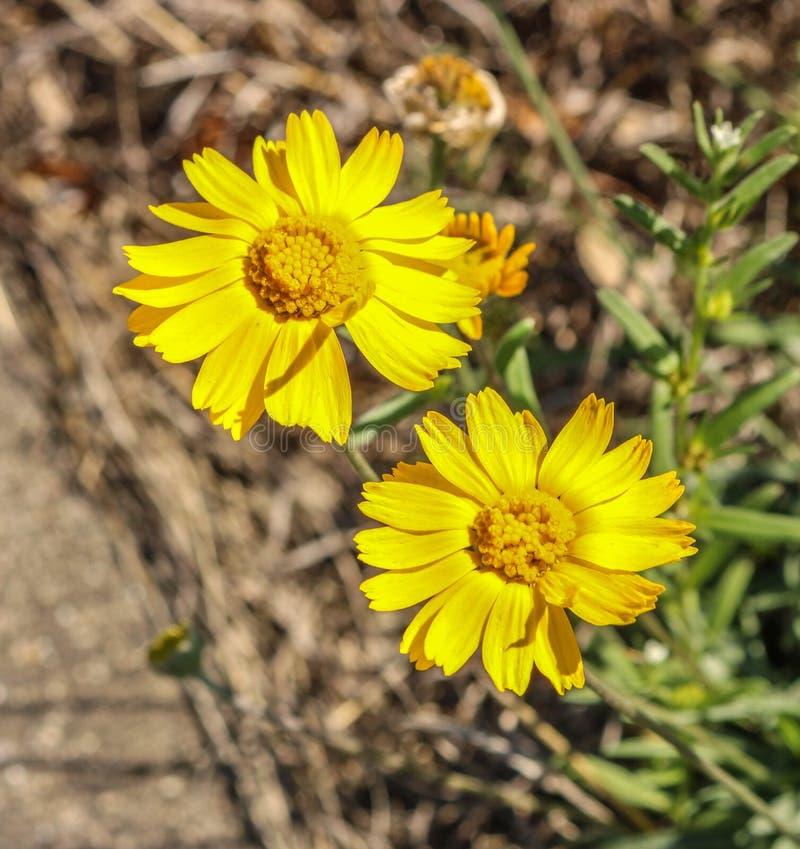 Guling blommar i kullelandet arkivbilder