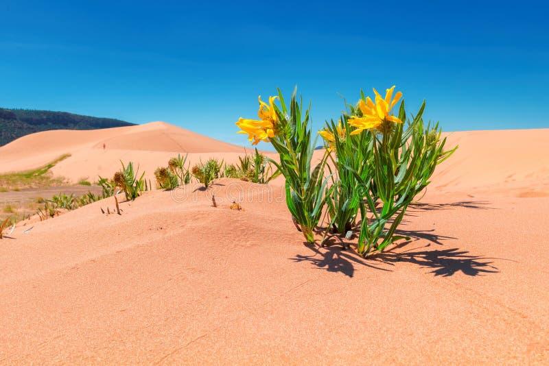 Guling blommar i sanddyerna royaltyfria bilder