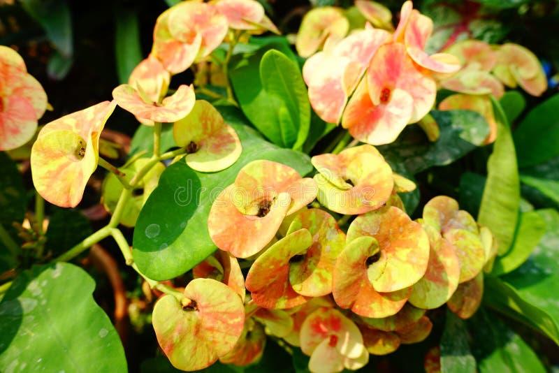 Guling blommar i trädgården, mig älskar den, det håller mig föryngrad mina passionblommor hem royaltyfri foto