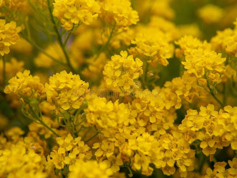 Guling blommar i tr?dg?rden royaltyfri bild