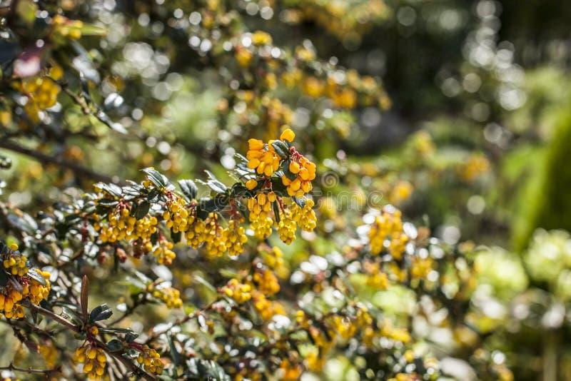 Guling blommar på en buske, färgstänk av ljus arkivfoton
