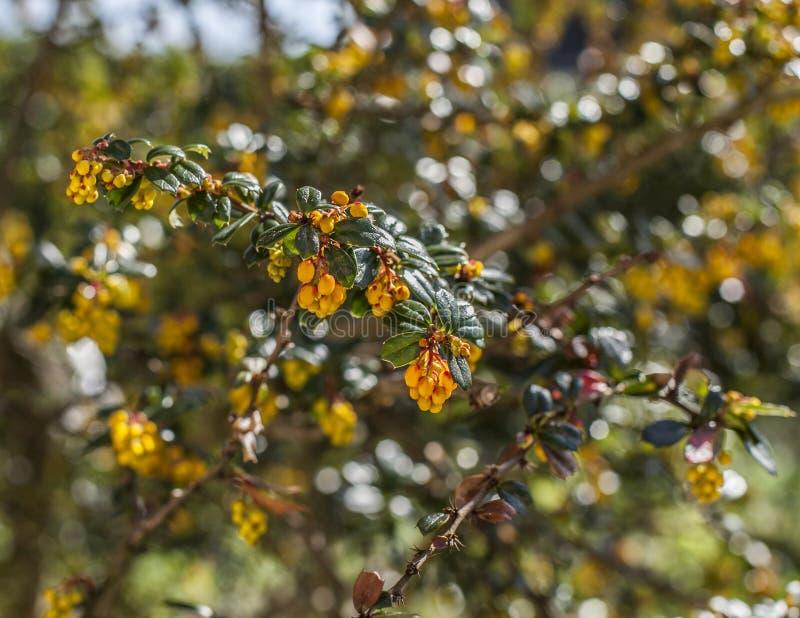 Guling blommar på en buske, ljust och ljust arkivfoto