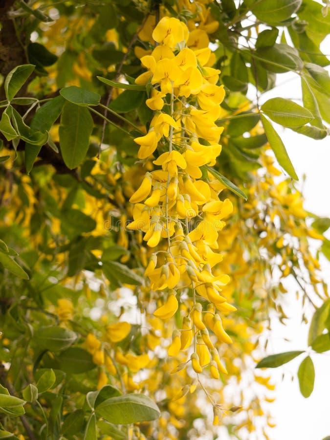 Guling blommar på ett träd utanför i vår royaltyfria bilder