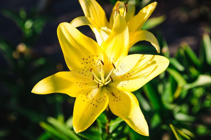 Guling blommar upp bakgrundsslut arkivfoton