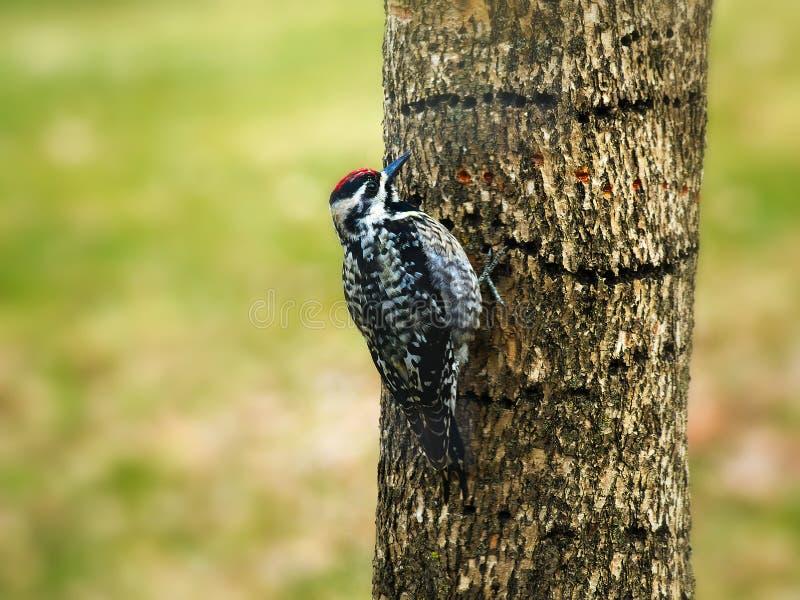 Guling-buktad sapsucker-, Sphyrapicusvarius och hål som det borrade in trädstammen fotografering för bildbyråer