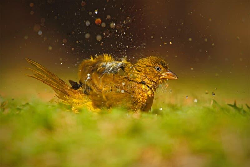 Guling-buktade Greenbul, Chlorocichla flaviventris, afrikansk sångfågel som plaskar i vattnet, grönt sommargräs, naturlivsmiljö, royaltyfria bilder