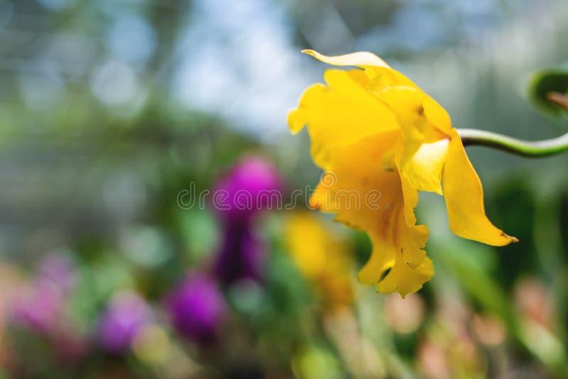 Guling färgade att blomma orkidér arkivbilder