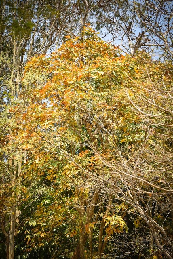 Guling för färg för höstträdändring arkivfoto
