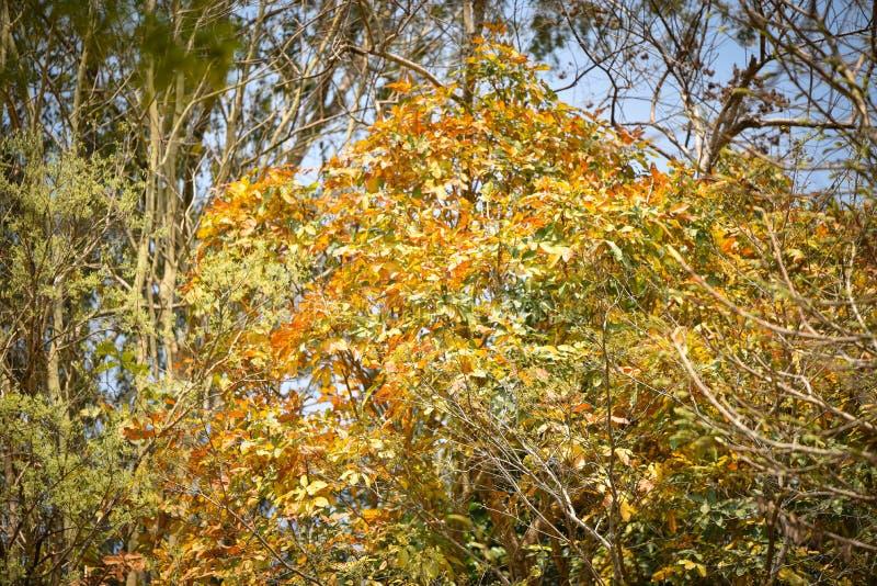 Guling för färg för höstträdändring arkivfoton