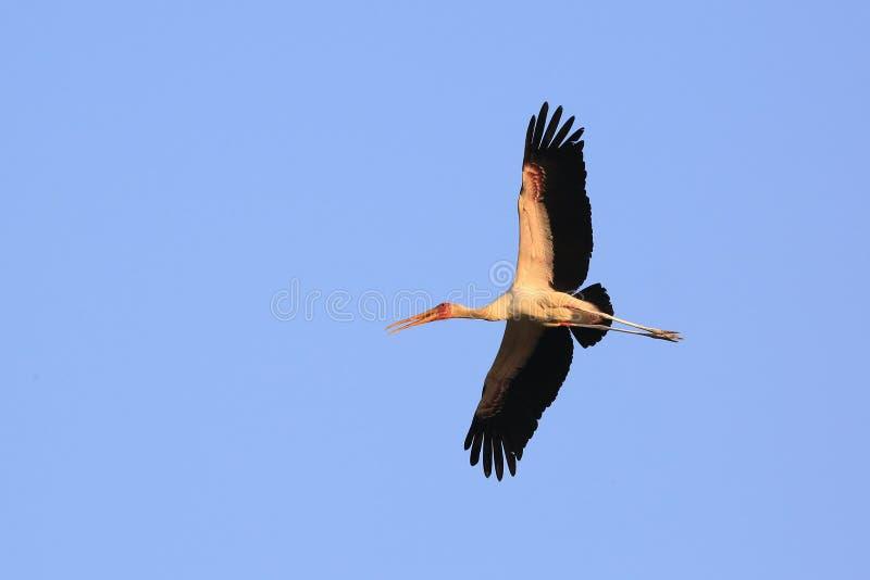 Guling fakturerad Stork arkivbild