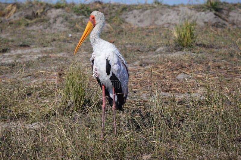 Guling-fakturerad stork arkivbilder