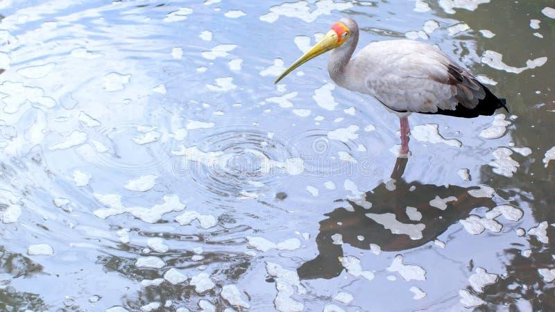 Guling fakturerad stork som söker efter föda i det tropiska dammet arkivfoto