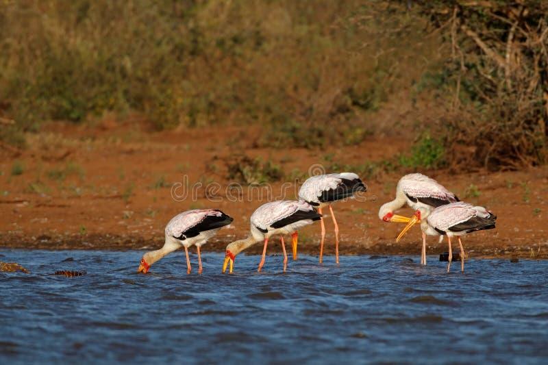 Guling-fakturerade storkar som söker efter föda - Kruger nationalpark arkivfoton