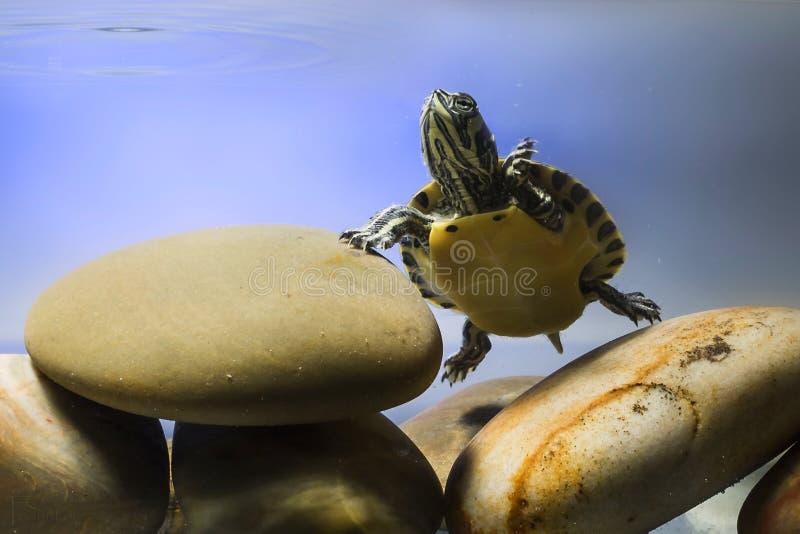 Guling-gå i ax sköldpadda arkivbilder