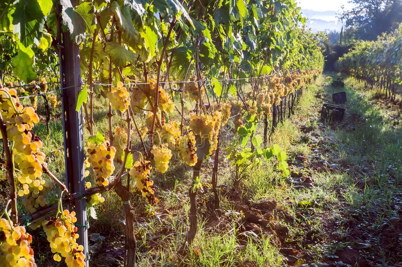 Guling-gräsplan vinranka i wineyard Färgrikt vingårdlandskap i Italien Ängar som är ofTuscany i höstskördtid royaltyfria foton
