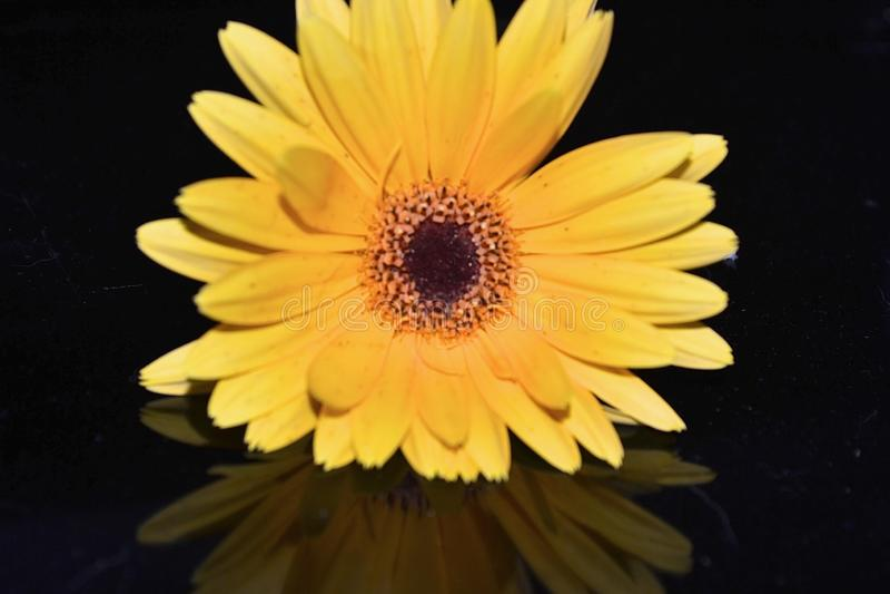 Guling-guld Gerberatusensköna och reflexion mot en mörk bakgrund royaltyfria foton